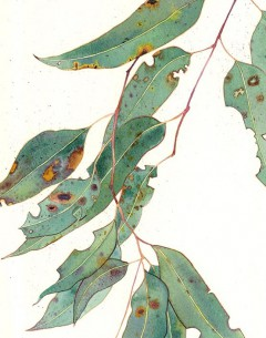 Eucalypt Watercolour and pencil on Arches paper by Gabby Malpas