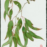 Eucalyptus 6 watercolour , pencil and gouache on Arches  paper