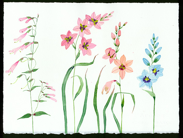 meadow flowers original watercolour on Arches paper by Gabby Malpas ixia and penstemon