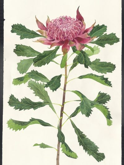 Gabby Malpas original watercolour painting: 'waratah'